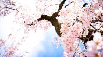 Blossoms branches trees Wallpaper