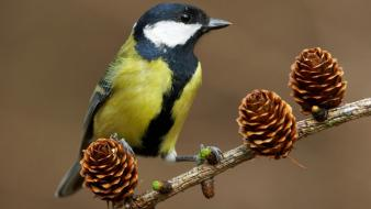 Great tit birds cones wallpaper