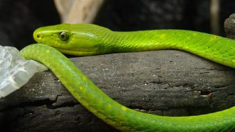 Mamba eastern green reptiles snakes wallpaper