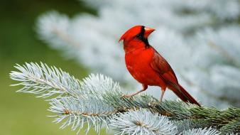 Northern cardinal birds depth of field macro wallpaper