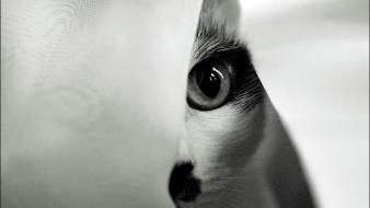 Animals cats eyes monochrome Wallpaper