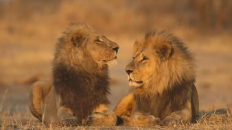 African animals games lions wallpaper