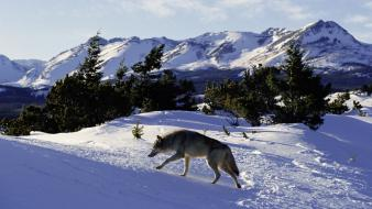 American gray wolf mountains nordic north wallpaper