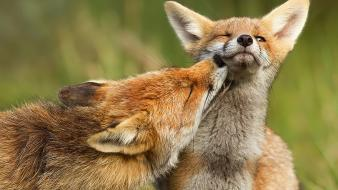 Animals baby canine foxes mother Wallpaper