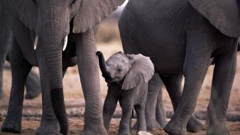 Animals baby elephant elephants wallpaper