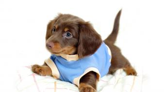 Animals dachshund funny pets puppies wallpaper