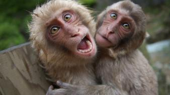 Japanese macaque animals monkeys Wallpaper
