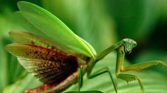 National geographic animals mantis nature wallpaper