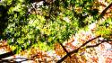 Green autumn (season) leaves sunlight maple leaf branches wallpaper