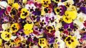 Flowers pansies background johnny jump up Wallpaper